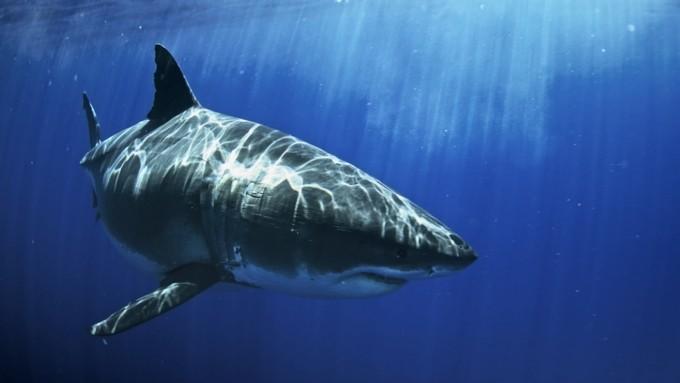 Shark Festival National Geographic Wild